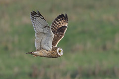 Short-eared Owl (KHR Images) Tags: shortearedowl asioflammeus seo wild bird birdofprey hunting flying nenewashes cambridgeshire fens eastanglia wildlife nature nikon d500 kevinrobson khrimages
