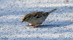 J78A0131 (M0JRA) Tags: birds flight flying wildlife rats walks gardens parks fields trees lakes ponds ducks swans rspb