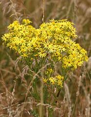 Cinnabar Moth Caterpillar (Sky Kite) Tags: tyriajacobaeae beaconhill burghclere highclere hampshire england