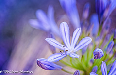 Blue Vibe (frederic.gombert) Tags: color colors blue flower flowers agapanthe sun spring summer garden bloom blossom macro nikon flora