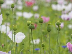 P7040020 (turbok) Tags: mohn pflanze zierpflanzen c kurt krimberger
