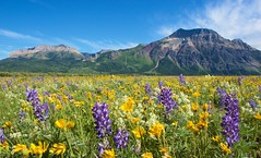 Prati fioriti come giardini (luca.cadez) Tags: canada paesaggi watertonlakes