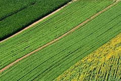 Tricolor (luporosso) Tags: natura nature naturaleza naturalmente nikon nikonitalia nikond500 girasoli sunflowers erba distesaerbosa grass grassyexpanse geometrie geometry scorcio scorci country countryside colors colori
