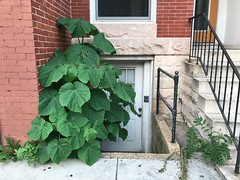 Entrance with overgrown weeds, Rowhouse, 2441 N. Charles Street, Baltimore, MD 21218 (Baltimore Heritage) Tags: baltimore charlesstreet charlesvillage entrance maryland rowhouse weeds