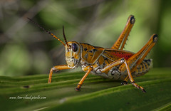 Grasshopper and Palm Frond (tclaud2002) Tags: grasshopper easternlubber insect bug macro palmfrond naturemothernature outdoors sweetbay sweetbaynaturalarea palmbeachcounty floridausa