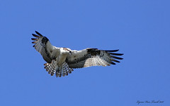 Osprey fishing above me. Wolf River, Shawano, Wisconsin (Lynnemvt) Tags: wildlife nature river bird birdofprey raptor animal panasonic lumix fz1000 bluesky