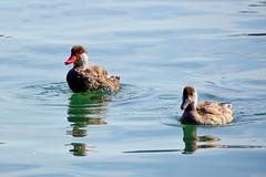 Couple de nettes rousses (Diegojack) Tags: morges vaud suisse d7200 nikon nikonpassion oiseaix léman lac eau reflets nettes netterousse couple