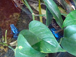 Blue Poison Dart Frogs.