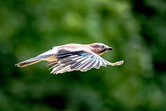 jay flight (Paul Wrights Reserved) Tags: jay bird birds birding birdphotography birdinflight flying fly flight flapping flyingbird inflight infocus bokeh bokehphotography