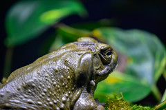 Colorado River Toad (thatSandygirl) Tags: animal frog amphibian mysticaquarium wildlife nature green depthoffield bokeh coloradorivertoad fat