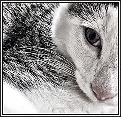Stella kitten (Bob R.L. Evans) Tags: littledoglaughednoiret whiskers catwhiskers catnose cateye composition