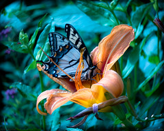 Resting My Wings On Your Petals (porclein) Tags: butterfly butterflies beauty peace calm tiger lily flower flowers flow peaceful