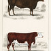 Animated Nature (1855), a portrait of an ox and a bull  Digitally enhanced from our
