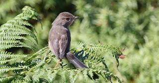 Dartford Warbler (juvenile) 130717 (5)