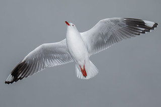 20180715_2125_7D2-35 Red-billed Gull #2 (196/365)