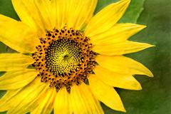Artistic Summer Sunflower 6-0 F LR 7-13-18 J337 (sunspotimages) Tags: flower flowers sunflower sunflowers artistic artwork digitalmanipulation impressionist impressionism