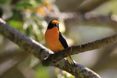504A8010 (Rod.T28) Tags: gaturamoverdadeiro birds birdphotography canon7dmarkii canon400mm28lusmii canonextender14xii riodejaneiro colours colors yellow euphoniaviolaceous