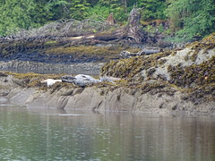 DSC02516 (jrucker94) Tags: ketchikan alaska coastalwildlifesearch excursion cruise port nature seal seals colony