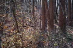 Many Trees - Intimate Landscape (Modkuse) Tags: landscape autumnlandscape nature natural trees nikon nikondslr nikond700 dslr 50mm 50mmf18 50mmf18nikkor autumn