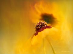 Summer Firedance (shutterbugbekkie) Tags: flowers home art texture macro yellow fire summer