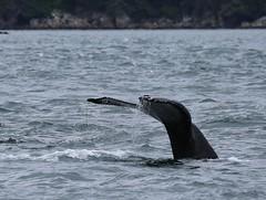 Alaska075 (lorstierlen) Tags: kodiak katmai nature wildlife birds sea otter whale puffin seal tern