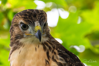 Red-tailed Hawk - Buteo jamaicensis | 2018 - 13
