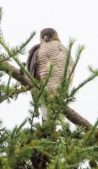 Sevenoaks Sparrowhawk