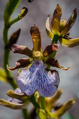 Orquídea selvagem (mcvmjr1971) Tags: parque estadual três picos nova friburgo rio de janeiro brasil nikon mmoraes d7000 travel