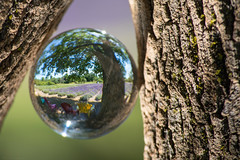 At the Lavender Farm (NicoleW0000) Tags: tree crystallball glassball refraction lavender lavenderfield bokeh colorful colors color nature outdoors princeedwardcounty ontario