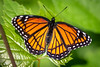 Viceroy Butterfly (Sharky.pics) Tags: 2018 usa june butte nature wisconsin nikond850 viceroy insects unitedstates retzernaturecenter waukesha us