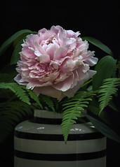 Tree peony (kaffealskare) Tags: treepeony buskpion pion peony pinkish rosa blomma flower stilleben stilllife