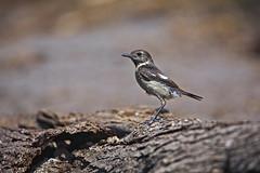 Bonte Vliegenvanger (juveniel) (BossAL) Tags: bos rots hout vogel bird