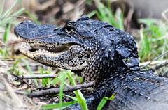 Gator (_Lionel_08) Tags: alligator louisiana nature wild reptile