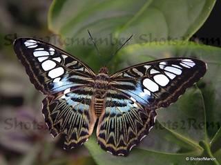 Parthenos Sylvia butterfly / Parthenos Sylvia vlinder