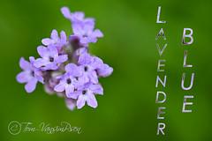 Lavender blue (toinie) Tags: lavender blue nikon d500 macro sigma 180mm
