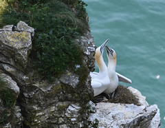 Gannets (littlestschnauzer) Tags: gannet seabirds seabird birds 2018 may uk cliffs rspb bempton england mates pair gannets atlantic nesting nest