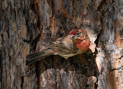 male_house_finch-20180617-100 (dagnyg) Tags: birds maleandfemalehousefinch prescottaz beautifulphoto