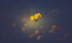 Wildflower (Dhina A) Tags: sony a7rii ilce7rm2 a7r2 a7r lensbaby composer pro twist 60 optic 60mm lensbabycomposerpro f25 bokeh art lens manual focus emount creative photography blur wildflower wild flower