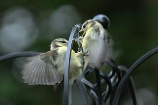 Kerfuffle at the feeder