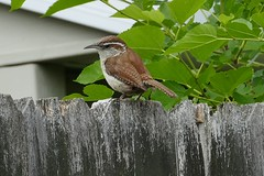 CAROLINA WREN IN OHIO (fstopfinatic) Tags: depthoffield bokeh panasonicfz1000 forest tree nature outdoor bird flight feather migrate perch summitcountyohio akron akronohio carolinawren bewicks wren