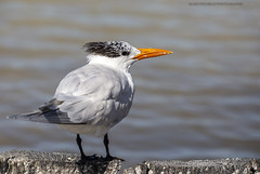 Sterne royale, Royal Tern,Thalasseus maximus (beluga 7) Tags: sterneroyale royaltern thalasseusmaximus mexico mexique yucatan bird oiseau