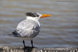 Sterne royale, Royal Tern,Thalasseus maximus