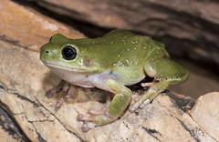 "Centralian Tree Frog (Litoria gilleni) (Gus McNab) Tags: centraliantreefrog litoriagilleni amphibian amphibians frog frogs herp herpetofauna herpetology amphibia australia ""australian frogs"" frog"" amphibians"" amphibian"" treefrog ""tree hylidae hylid wildlife ""wildlife photography"" fauna"