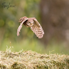 Steenuil-22945 (Sjors loomans) Tags: athene noctua bird birds nature natuur outdoor steenuil vogel wildlife steinkauz holland natuurfotografie sjors loomans little owl mochuelo común nederland europe
