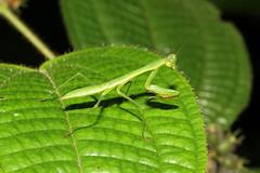 Mantoidea sp. (Praying Mantis, nymph) - Mahe, Seychelles (Nick Dean1) Tags: prayingmantis mantodea mantis animalia arthropoda arthropod hexapoda hexapod insect insecta indianocean seychelles mahe