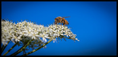 Bee 2 (paullangton) Tags: bee bees flower nature blue sky pollen canon insect colour