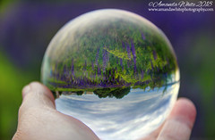 A Hand Full of Lupines (sminky_pinky100 (In and Out)) Tags: lensball lupines abstract had glass ball flowers dartmouth novascotia canada travel tourism pretty scenic outdoors refraction bokeh cans2s omot