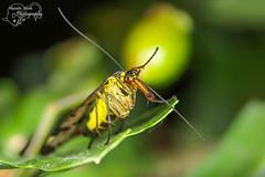 Scorpion fly (male) (Amanda Blom Photography) Tags: macro macrophotography macrophoto macroworld nature natuur naturepicture naturelover naturephotographer naturephoto natuurfoto naturephotography natureptohography naturelove green groen schorpioenvlieg fly vlieg scorpionfly