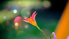 Flower - 5428 (ΨᗩSᗰIᘉᗴ HᗴᘉS +18 000 000 thx) Tags: flower bokeh flora color hensyasmine namur belgium europa aaa namuroise look photo friends be wow yasminehens interest intersting eu fr greatphotographers lanamuroise tellmeastory flickering fujifilmgfx50s