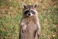 130A1001 (Ricky Floyd) Tags: raccoon canon